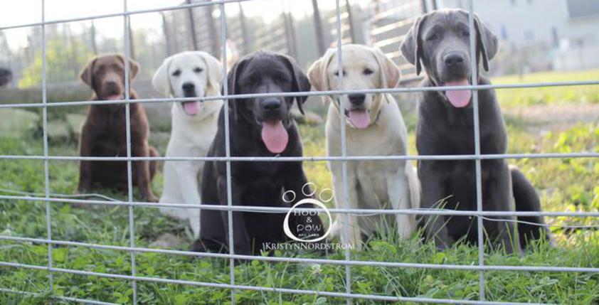 Hoof-N-Paw Labrador Retrievers